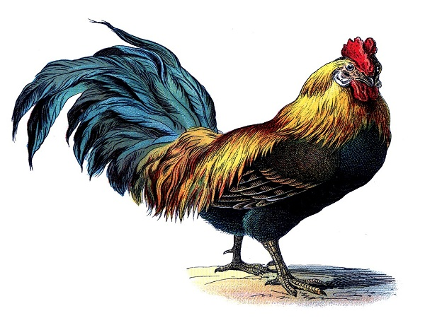 Nằm mơ thấy gà điềm gì?