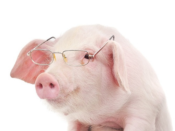 Nằm mơ thấy lợn điềm gì?