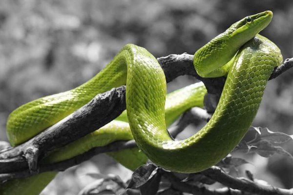 ngủ mơ thấy rắn xanh