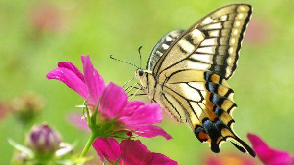 Mơ thấy bươm bướm điềm báo gì?