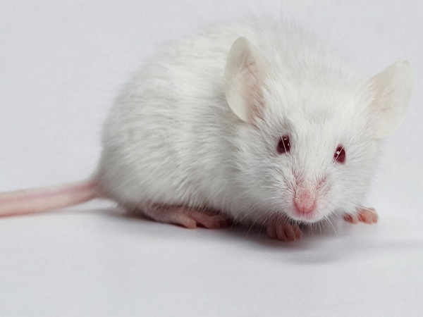 Mơ thấy chuột có ý nghĩa gì?
