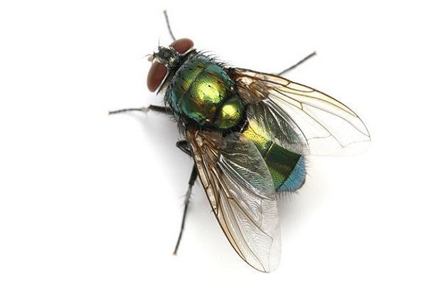 Điềm báo trong giấc mơ thấy con ruồi