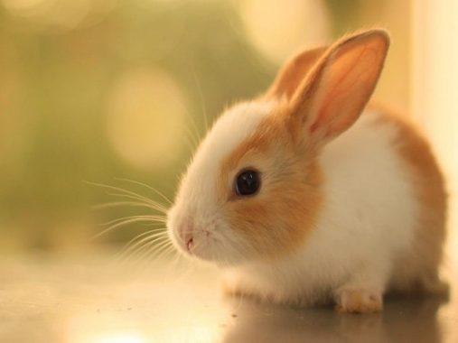 Mơ thấy con thỏ mang đến điềm báo gì, đánh con số nào may mắn?