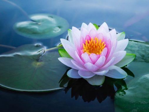 Nằm mơ thấy hoa sen có ý nghĩa gì, điềm báo gì đặc biệt?