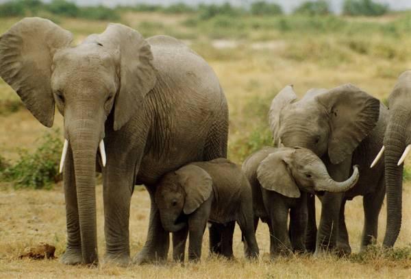 Nằm mơ thấy con voi đánh số gì? đánh số mấy
