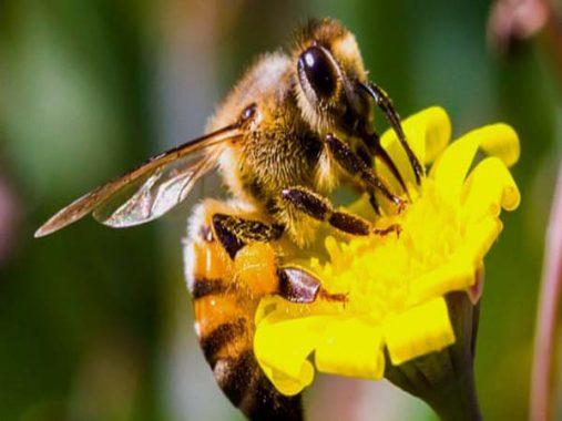 Ngủ mơ thấy ong – Mơ thấy ong đánh xổ số con gì