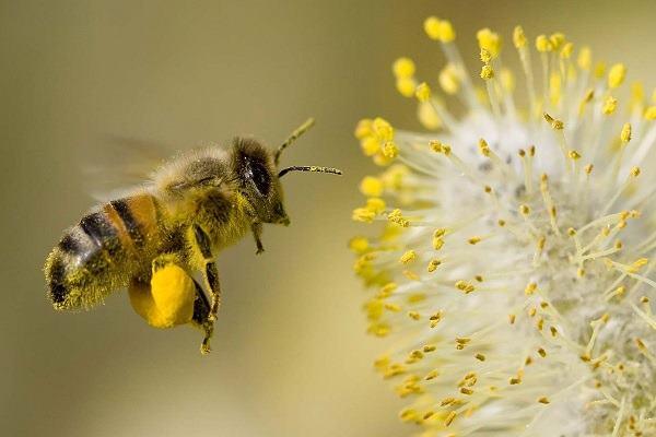 Nằm mơ thấy con ong vàng
