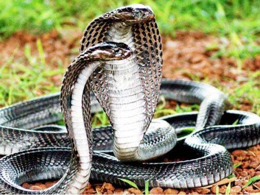 Nằm mơ thấy rắn hổ mang đánh xổ số con gì dễ trúng