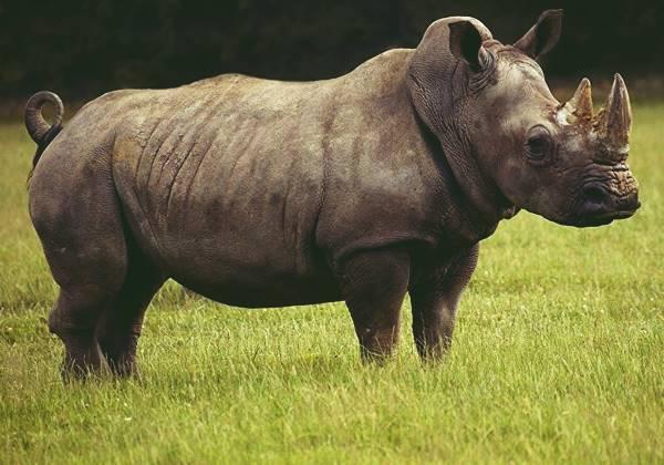 Điềm báo ẩn từ giấc mơ thấy con tê giác mang đến là gì