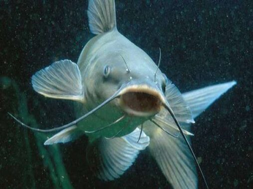Nằm mơ thấy cá trê đánh số mấy ? Là điềm báo hên hay xui ?