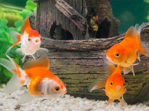 Phân tích ý nghĩa giấc mơ thấy cá vàng đánh con gì?