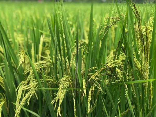 Nằm mơ thấy cây lúa đánh con gì? Giải mã điềm báo giấc mơ