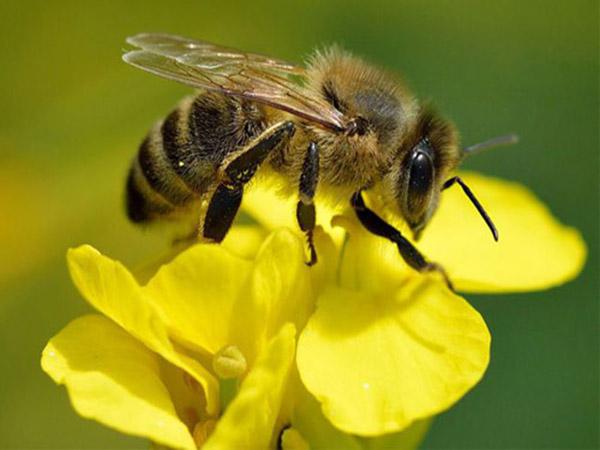 Nằm mơ thấy ong vàng có ý nghĩa gì đánh con gì dễ trúng