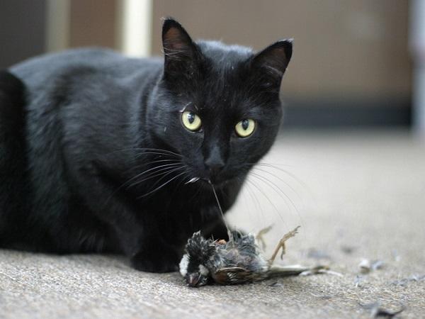 Luận giải giấc mơ thấy mèo đen đánh lô số mấy ? là điềm báo gì ?