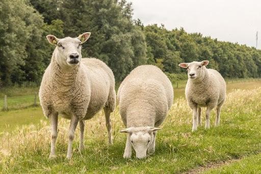 Mơ thấy con cừu đánh con gì đánh lô đề con gì